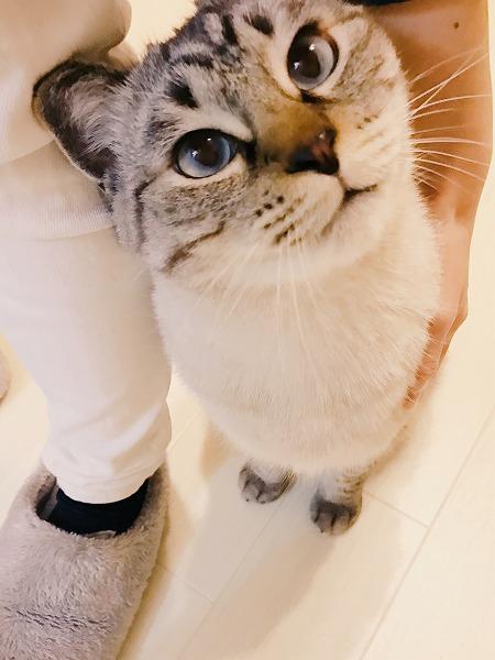 かわいい顔で見上げてくるシャムトラ猫