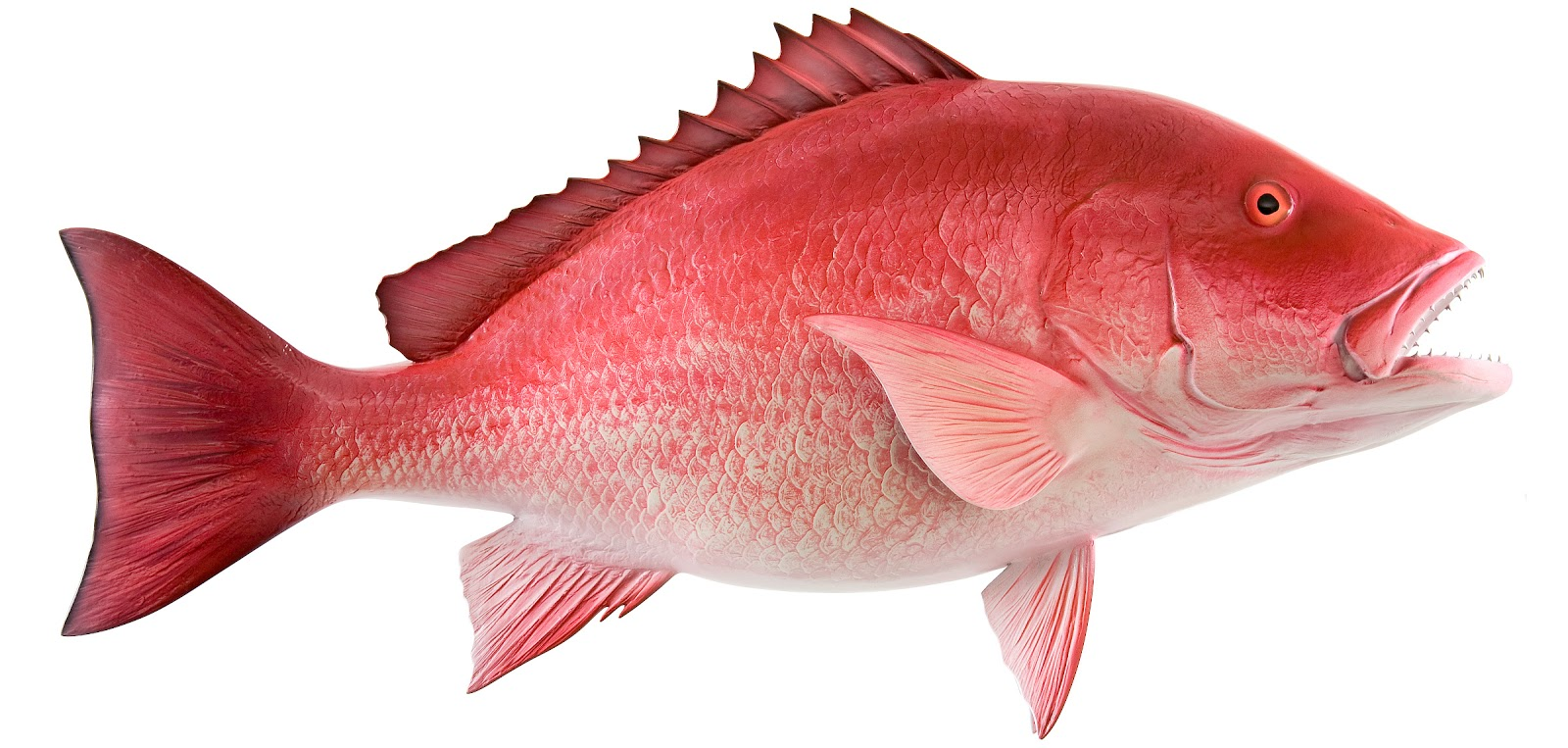Red Snapper Suppliers, Buy Whole Red Snapper, Red Snapper Size, Red ...