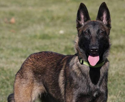 Belgian Malinois - Black Head  | Story of All Breed Dog in the World