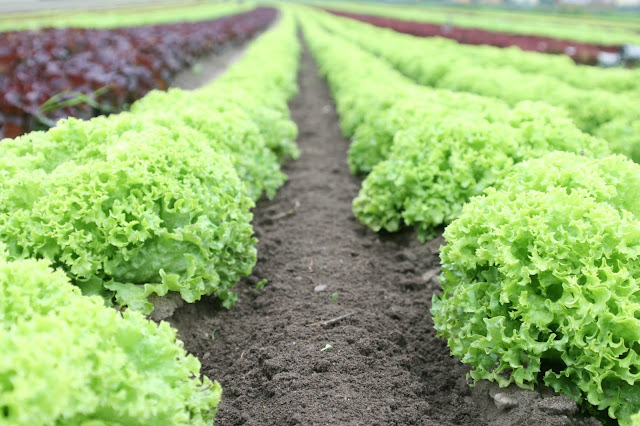 rows of lettuce being grown in the ground