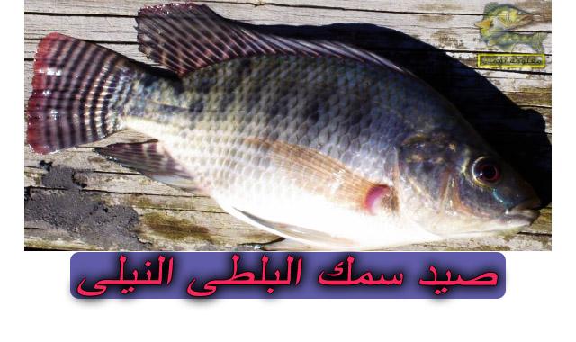 صيد سمك البلطي فى مصر | صيد سمك البلطى النيلى