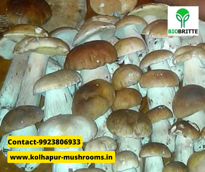 Mushroom spawn supply in Chiplun | mushroom cultivation | mushroom farming | mushroom business | mushroom supply | mushroom training | fresh & dry mushrooms
