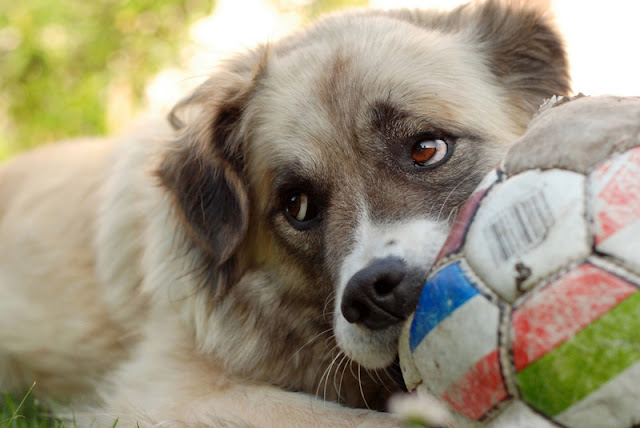 A cute puppy chews on an old football