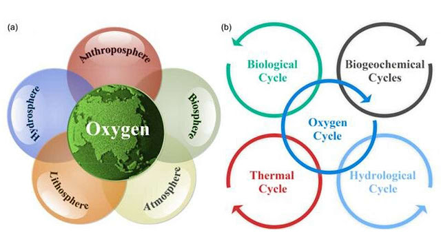 Exploring the evolution of Earth's habitability regulated by oxygen cycle