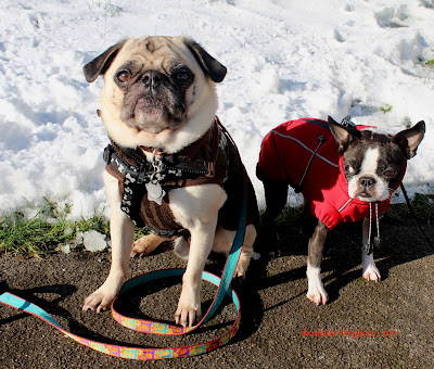 Liam the pug and Sinead the Boston terrier in the snow