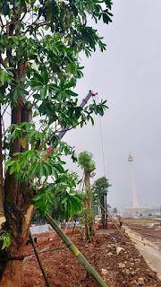 Mengenal Pohon Pule, Tanaman Herbal Yang Di Tanam Di Monas