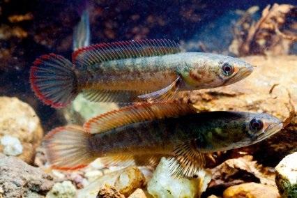 Channa orientalis - 50 Jenis Ikan Channa dan Harga Terbaru