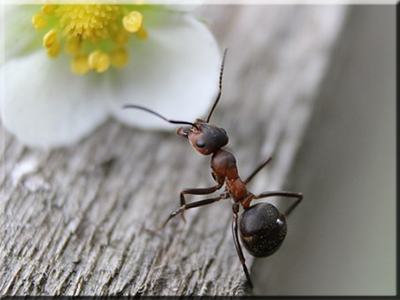 clases tipos hormigas carpintera