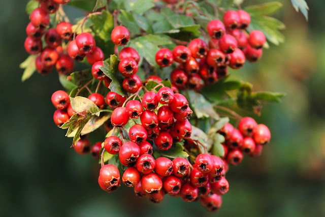 Hawthorn helps to stabilize collagen and reduce joint ache.