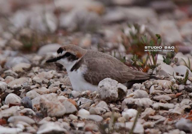 Η φωλιά του θαλασσοσφυρίχτη - Πρέπει να προσέχουμε ιδιαίτερα τις φωλιές των πουλιών στην παραλία