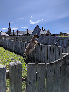 Goat At Louisbourg Fortress, Cape Breton Island