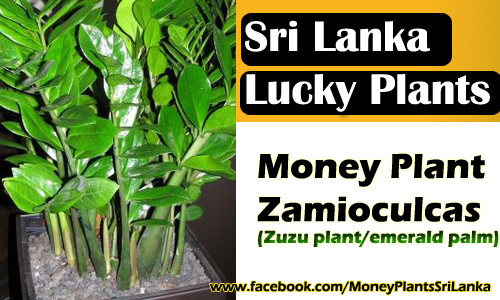 money lucky plants sri lanka money plant zamioculcas. Black Bedroom Furniture Sets. Home Design Ideas
