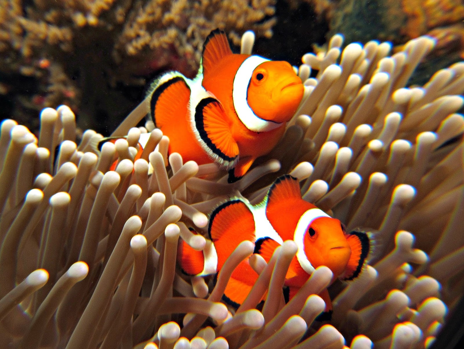 clown fish and sea anemone relationship