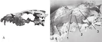Phlaocyon skull