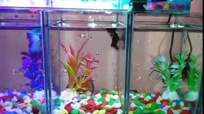 Ternak Rujukan Aquarium Modern Unik Untuk Ikan Cupang Hias