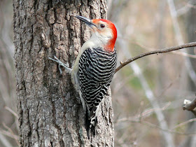 Photo of Red-bellied Woodpecker climbing a tree