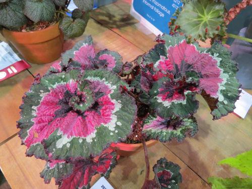 Philadelphia Flower Show 2020 - Begonia Paso Doble