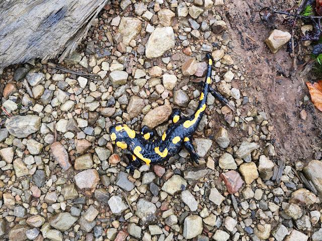 Карпатская саламандра