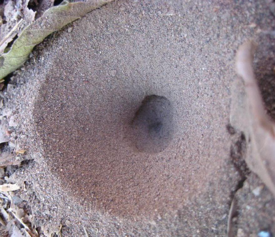Ant lion pit.