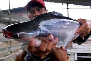 Umpan-Mancing-Ikan-Patin