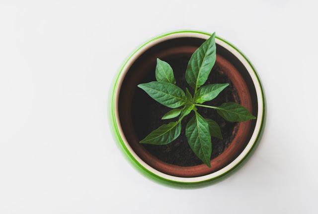 Planta no vasinho