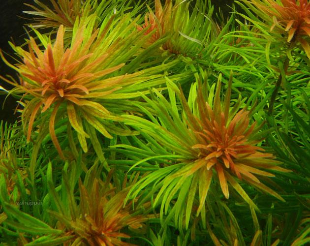 Màu hồng bắt mắt trên phần ngọn của cây thủy sinh Hoàng Thái Dương