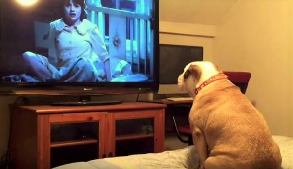This bulldog recovery loves horror movies and barks to warn victims of danger