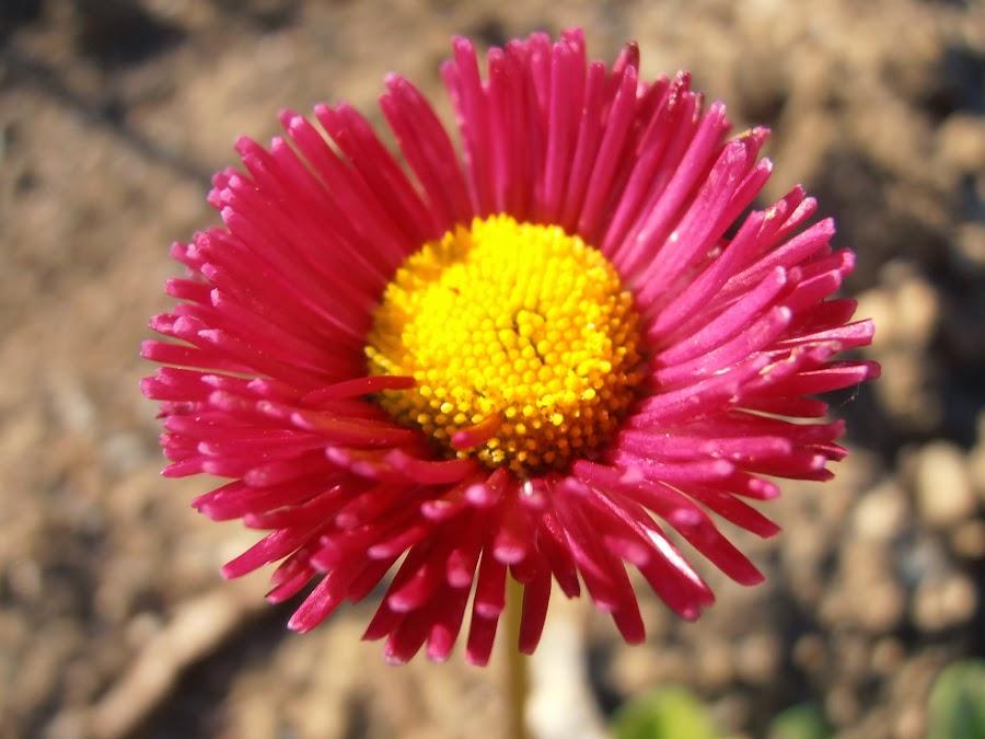 Chivirita-Bellis-perennis