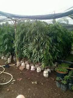 Jual Pohon Pelinding Glodokan Tiang