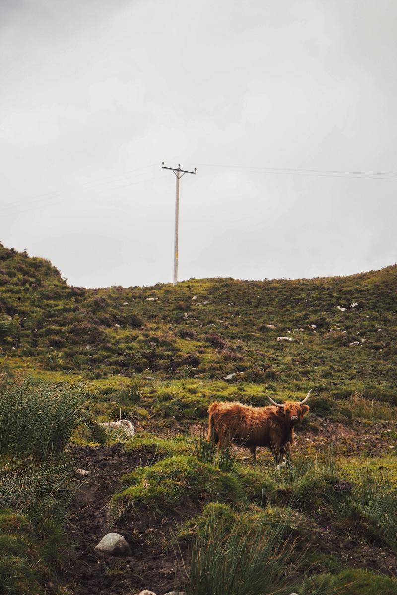 Voir des vaches des Highlands en Ecosse