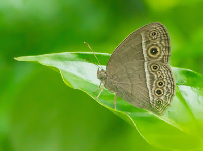 Long Brand Bush Brown (Mycalesis visala phamis)