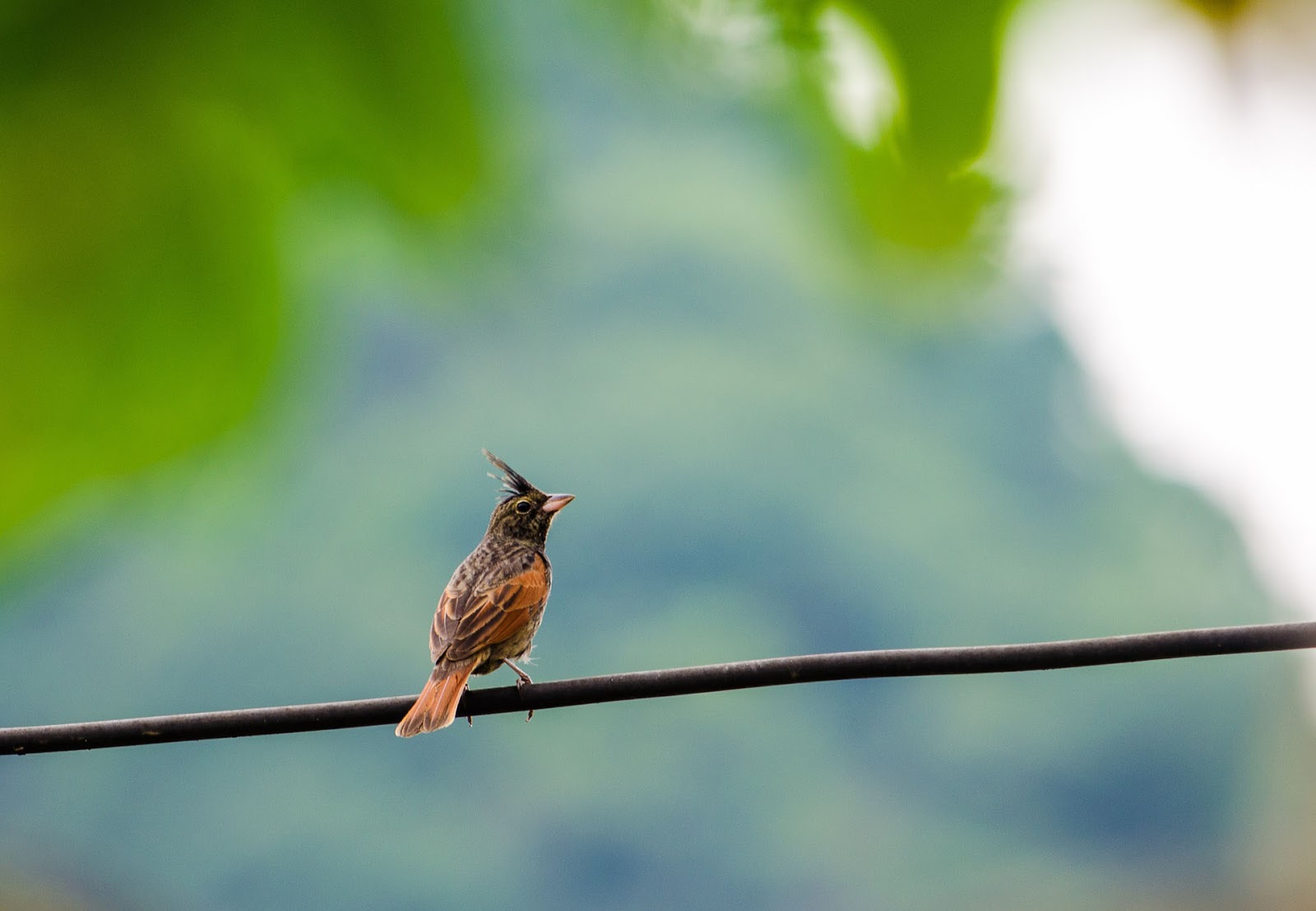 Crested Bunting image xhaami