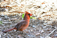 Northern Cardinal – Grayton State Park, FL – Mar. 29, 2018 – Roberta Palmer