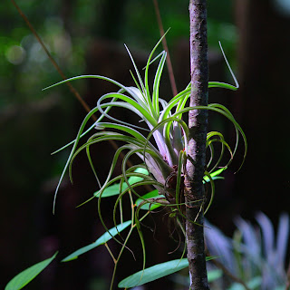 Tillandsia Costa Rica