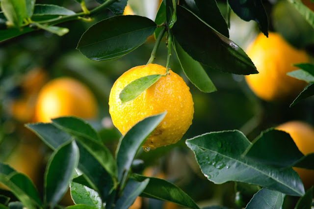 moist lemon grown from seeds