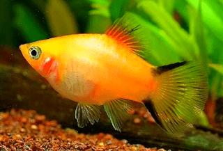 Jenis ikan Platy Twin Bar