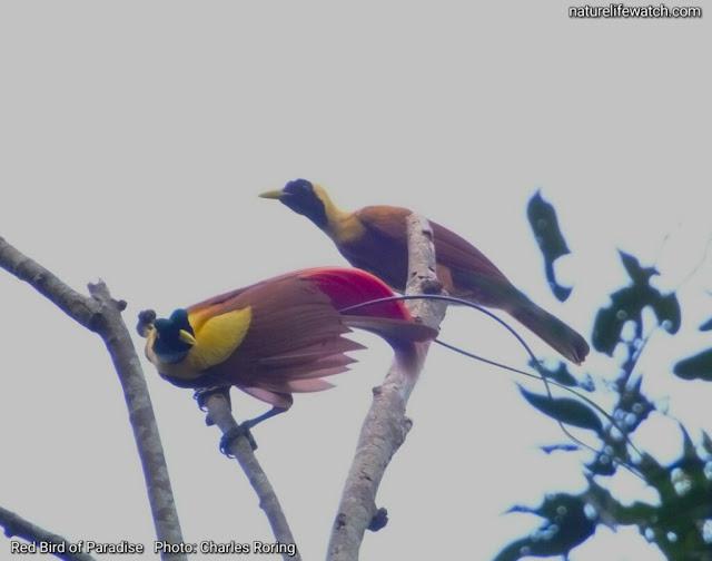 Red Bird of Paradise (Paradisaea rubra)