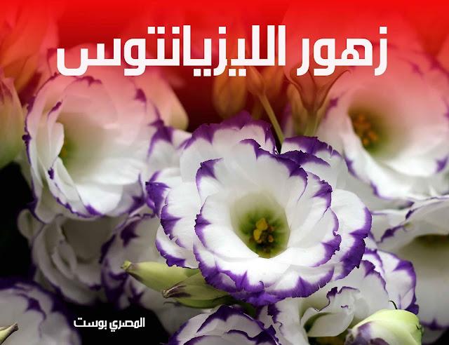 زهور الليزيانتوس - صور ورد - صور زهور