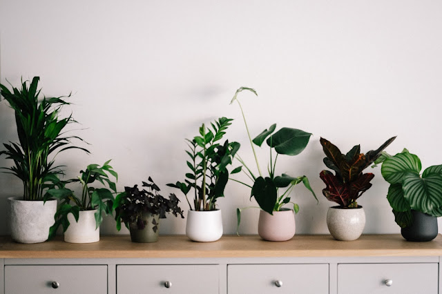 A mix of house plants along the top of a cabinet