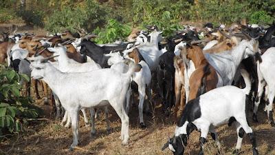 SAM 2160%2B %2BCopy - Ufugaji katika shamba la Rushu Ranchi Kisarawe