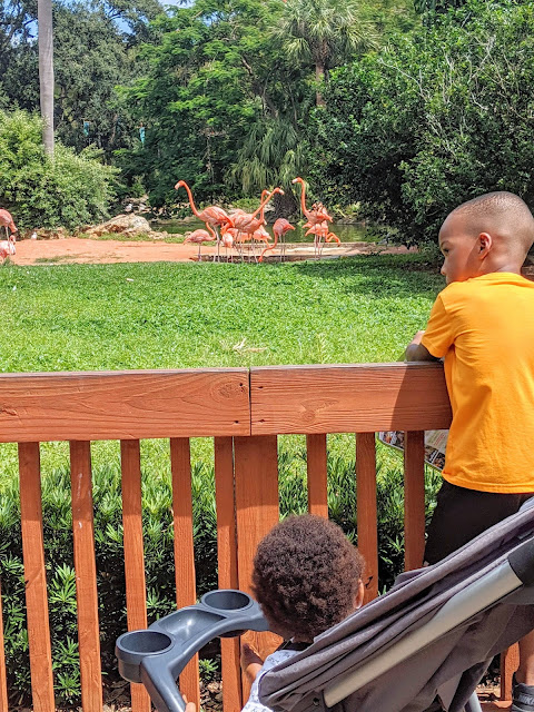 African American brothers watching flamingos at Busch Gardens Tampa Bay