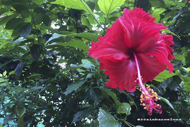 Pink Hibiscus flower in Thailand