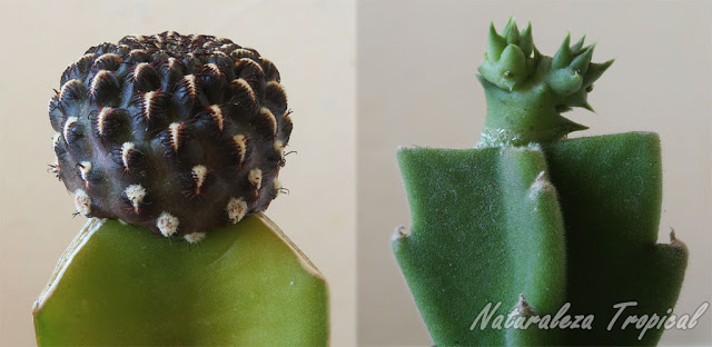 Injerto de cactus del género Rebutia sobre Hylocereus undatus e injerto de Huernia sp sobre Stapelia gigantea