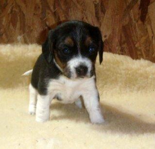 Teacup Beagle P...
