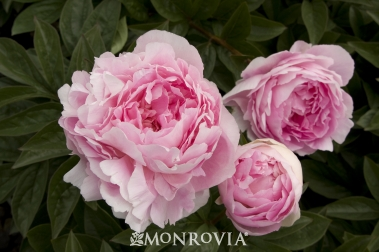 peony, pink peony, flower, peonies, garden, gardening