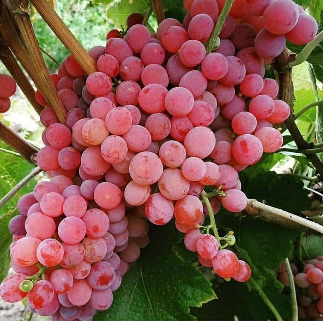 Bisa Partai Besar! Bibit Tanaman Buah Anggur Red Prince Bibit Anggur Import Red Prince Bibit Anggur Impor Kota Bogor #bibit buah genjah