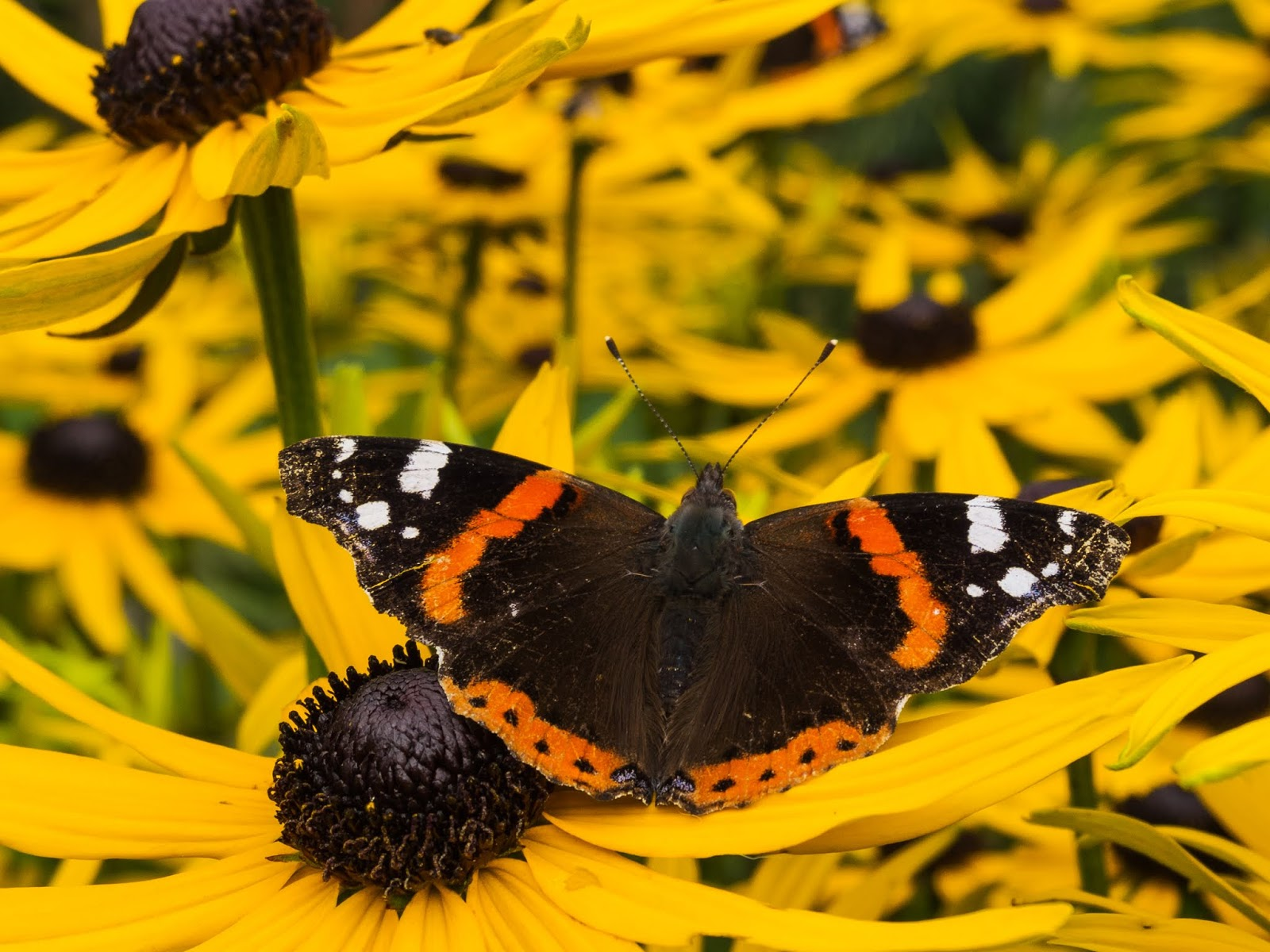 A Red Admiral butterfly sitting on yellow Black Eyed Susan flowers.