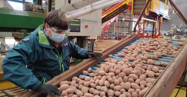 A Brasil partió el primer camión cargado con 25 mil kilos de papas semilla