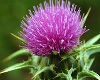 4 Herbal Yang Berguna Untuk Membersihkan Organ Hati