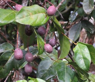 Gnetum leyboldii